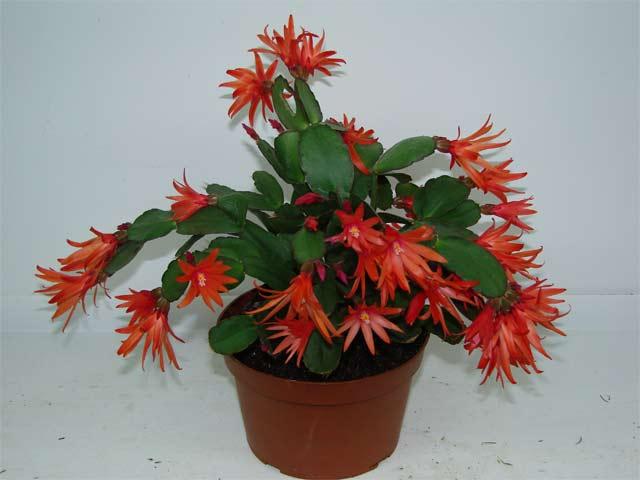 Купить комнатные горшочные цветы доставка цветов и подарков из минска в витебск